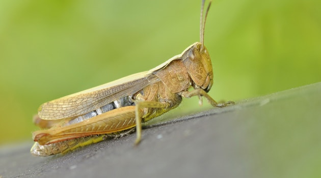 Locusts wipe out crops and pastures, damaging food supply and livelihoods.